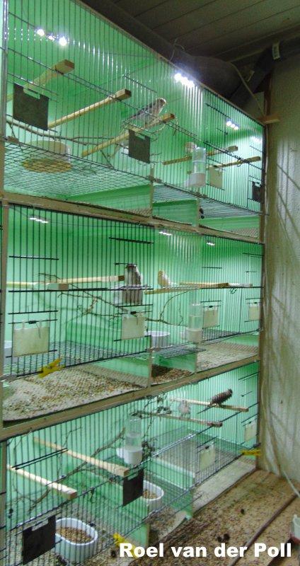 Barmsijzen in de broedkooien , kweek 2017 kan beginnen .