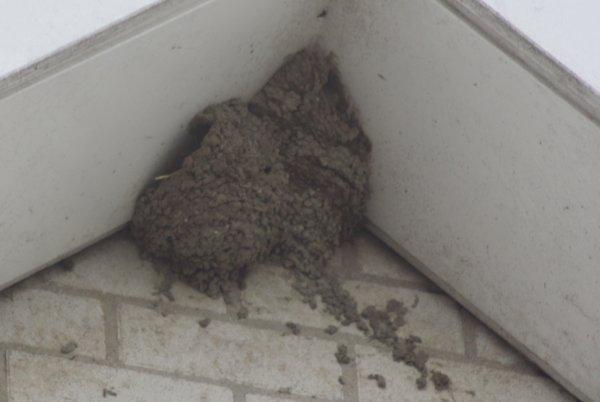 een paar foto`s van zwaluw nesten , die gebouwd worden en ook een paar nesten van verleden jaar . 16 mei 2017 .