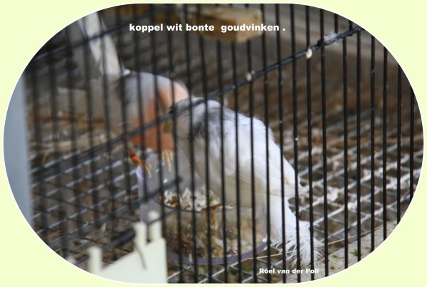 Koppel wit bonte met een nest van 3 jongen .