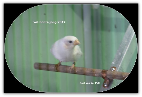 3 jongen wit bonte 2017, apart gezet .