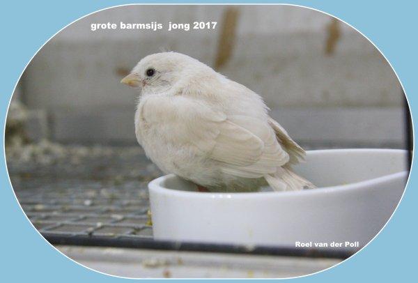 Grote barmsijs jong 2017.