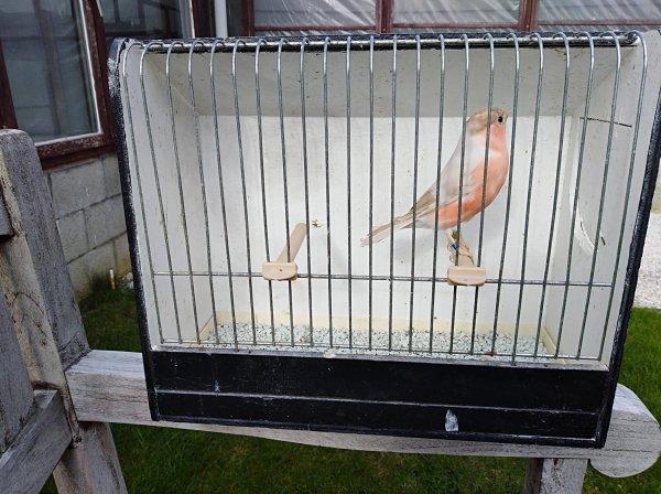 Aan gekochte vogel .