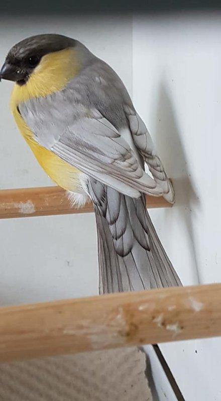 Pastel overgoten geel man . ( of grijpvleugel )