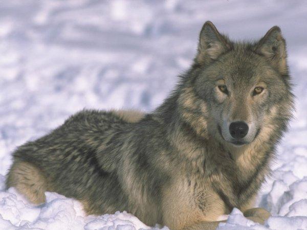bio des loups
