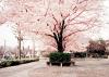 L'image du jour #4 Cerisier en fleur ♥