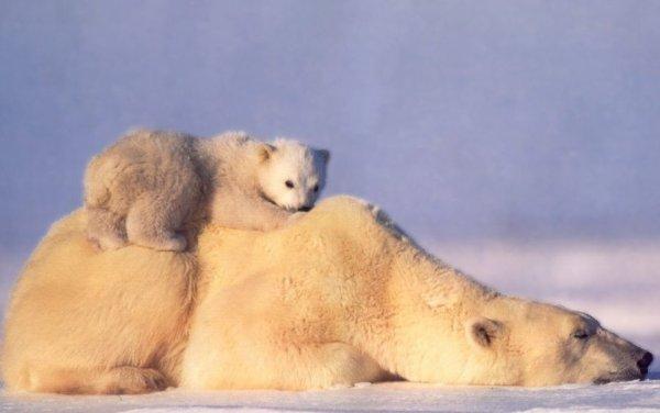 L'image du jour #6 Ours polaire^^