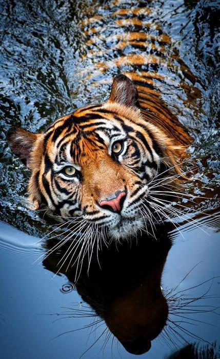 L'image du jour #13 Tigre dans l'eau