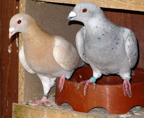 Quel est la couleur de ce pigeon??