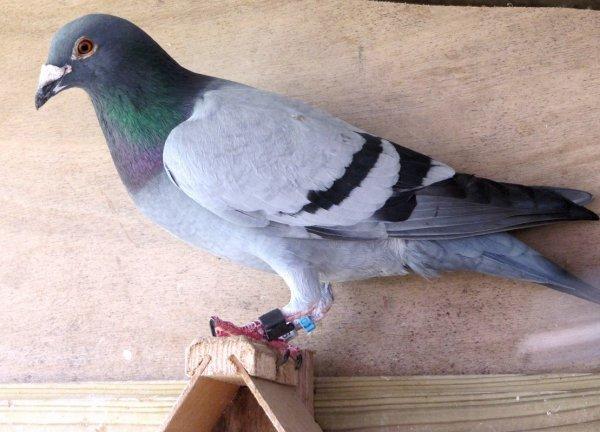 Pigeon égaré.