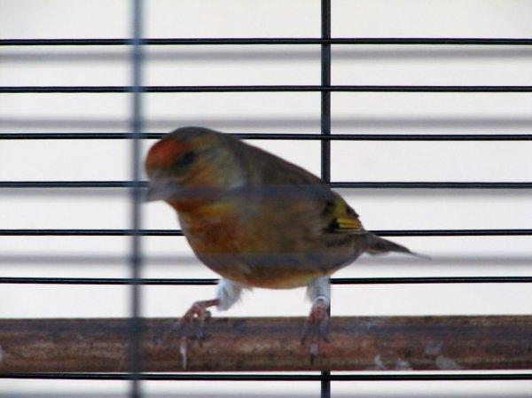 Mon Mulet (Mâle chardonneret X femelle canari)
