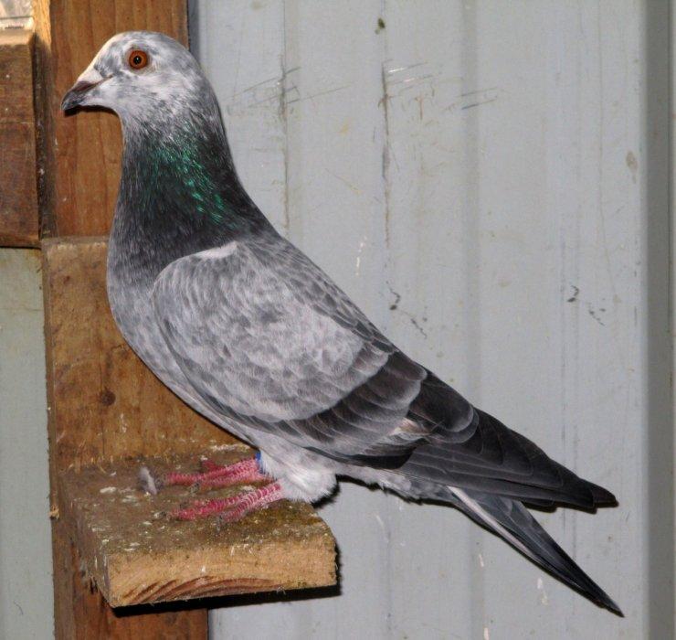 Blog de pigeon-de-ville