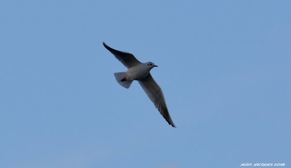 Mouette rieuse.