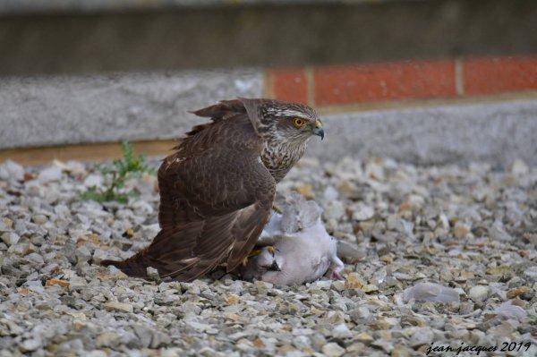 Un Épervier brun attrape une Tourterelle triste