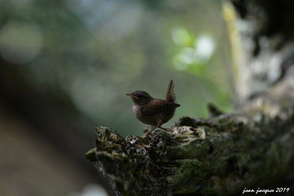 Troglodyte mignon juvénile Marais d'harchies