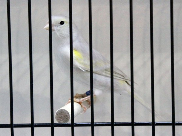 Isabelle pastel jaune mosaïque type 1