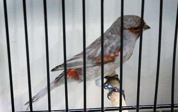 Noir pastel ailes grises rouge mosaïque type 2