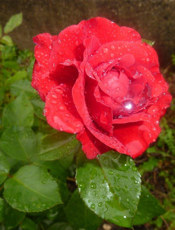Je vous offre une Rose du jardin !