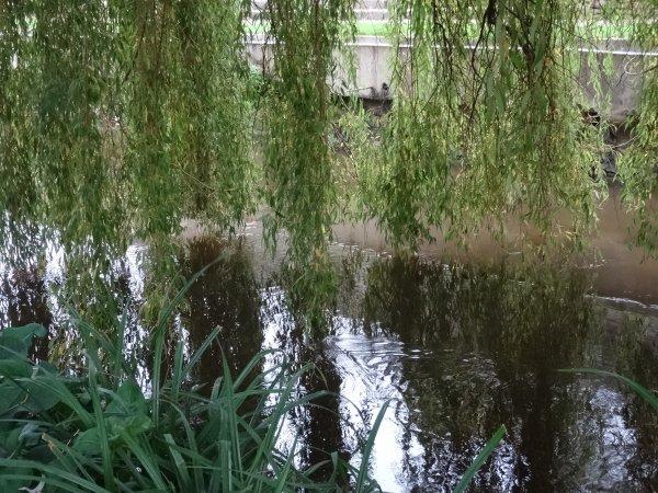 Le saule pleureur effleure la surface de la rivière...
