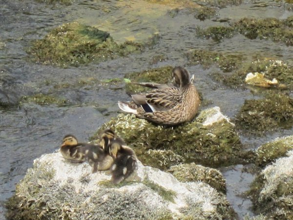 Famille Canards, suite: 20.05.2014