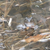 17 mars 2019: Quelques grenouilles avant la pluie