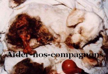 La vivisection animalière