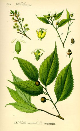 17.1 - Le  Micocoulier  -Celtis australis