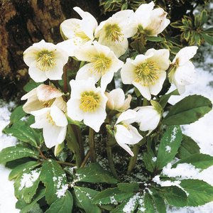 51.4 - La rose de Noël