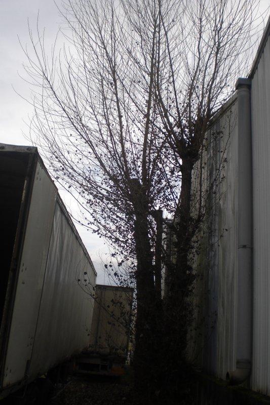 52.4 - Travaux d'hiver :   Élagage de peupliers  (Populus italica)