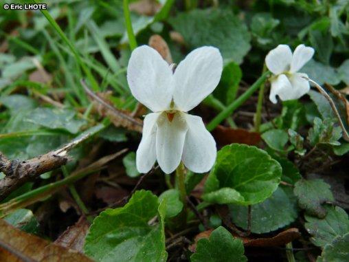 56.1- Des fleurs blanches   ...qui devraient être colorées ?