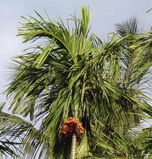 61 - L'arbre à Cachou