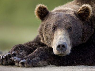 62.1 - Pisteur d'ours
