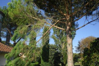 65.4 -Remontage de couronne  sur Pin parasol - Pinus Pinéa