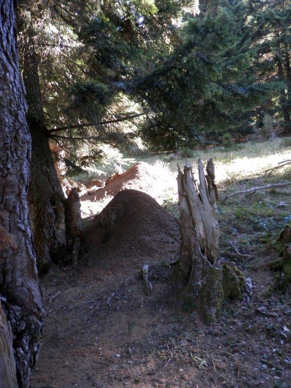 98.1- A la lisière de la haute forêt....Ca monte encore  !