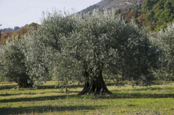 112 2 la taille de l 39 olivier le jardinier du 82 - Quand couper un olivier ...