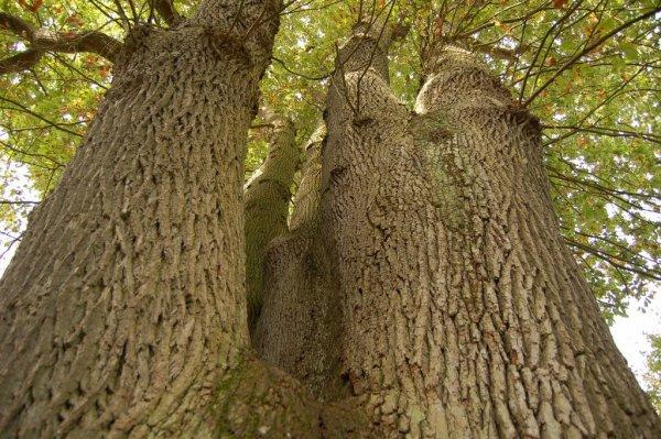 135.3  - Le chêne des six frères à Dourdan (91)