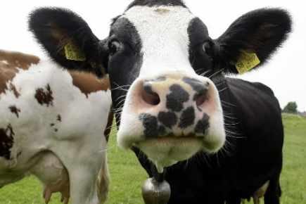 138.3 agriculture de proximité, - SOLIDARITÉ AVEC LES PAYSANS : La Vache & Le Prisonnier