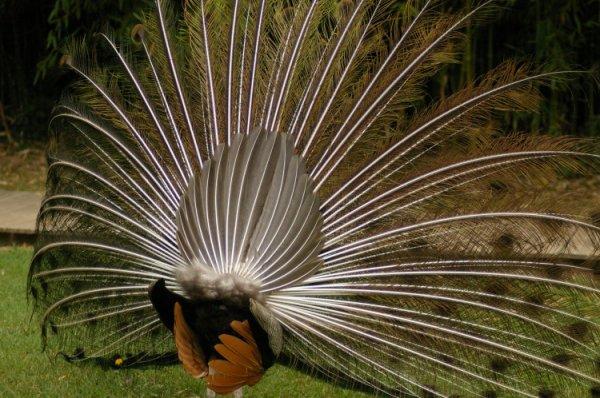 139.4 - Les oiseaux-du-Paradis, film tourné en Nouvelle-Guinée    par deux moineaux de l'Université de Cornelle département d'Ornithologie.