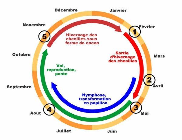 """145.3 - ALERTE- Ravageur du buis-  La Pyrale du buis : """"Cydalima perspectalis"""""""