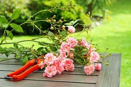 149 - La taille  et les soins naturels  prodigués aux rosiers