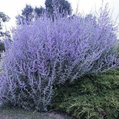 154.4 - Du bleu dans votre jardin ....Le Perovskia  !