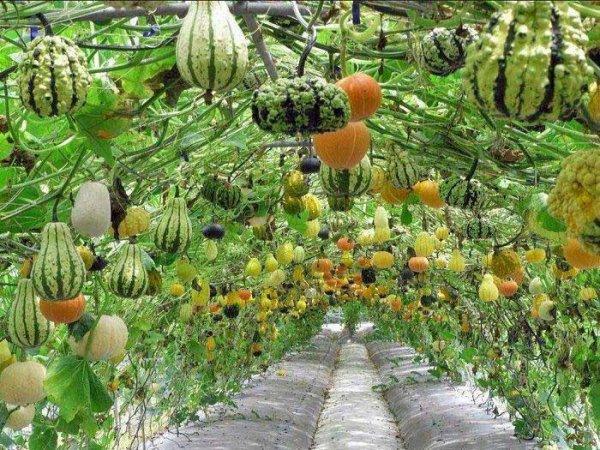 157.1 -  Gourdgeous Vertical Garden!