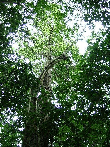 158 - Brosimum alicastrum , l'arbre miraculeux qui pourrait changer le monde