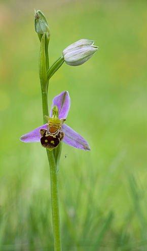 185.2 - Les orchidées..