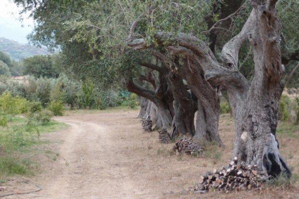 196.1 - Le jardin botanique fruitier d'Avapessa en Corse
