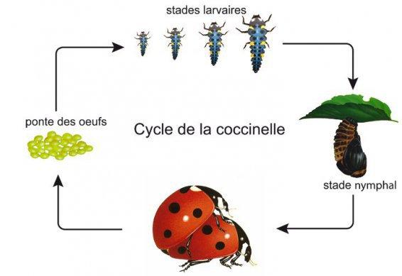 197.4- A Caen : distribution de larves de coccinelles gratuitement pour remplacer les pesticides dans votre jardin
