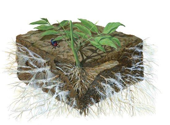 208.2 - Les champignons mycorhiziens seraient les meilleurs amis de votre jardin!