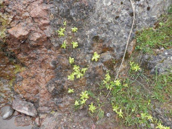 211.1 - Une carnivore des Pyrénées: La grassette à grandes fleurs (Pinguicula grandiflora) et autre flore..