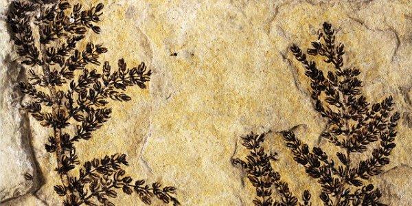 Une fleur vieille de 130 millions d'années