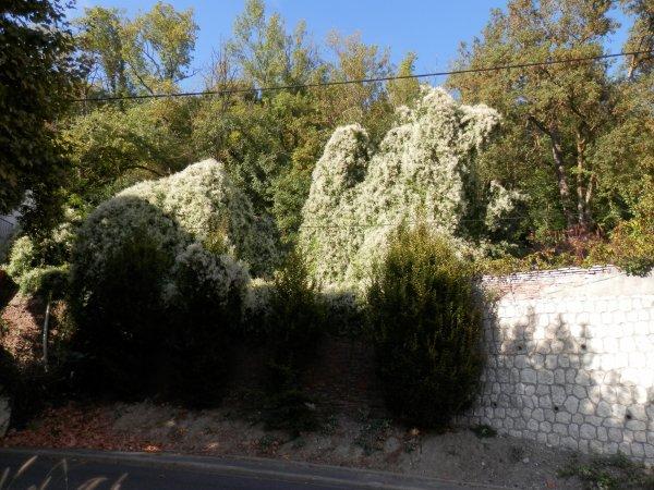 Une plante grimpante , la Renouée aubertii