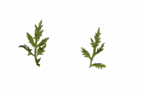 Artémisia annua - Une herbe qui tuerait 98% des cellules cancéreuses en 16H